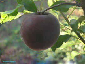 Чёрний абрикос