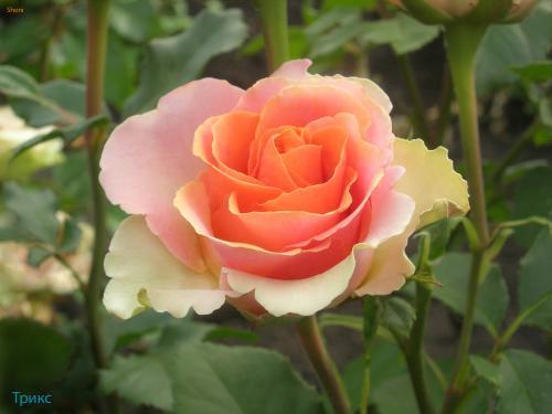Уход за бордюрными розами в домашних условиях 118