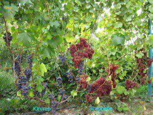 Виноград урожай 2018